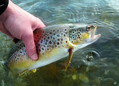 Sea Trout September 2008